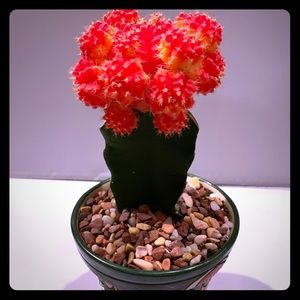 Mexican ceramic pot with flowering cactus